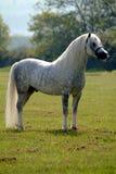 γκρίζο άλογο ομορφιάς Στοκ φωτογραφίες με δικαίωμα ελεύθερης χρήσης