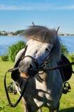 Γκρίζο άλογο πόνι στοκ εικόνα με δικαίωμα ελεύθερης χρήσης