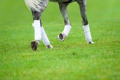 Γκρίζο άλογο σε ένα μάθημα εκπαίδευσης αλόγου σε περιστροφές Στοκ Εικόνες