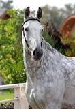 γκρίζο άλογο Στοκ Φωτογραφία