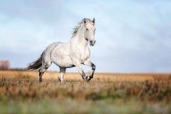 Γκρίζο άλογο portait στη δασική φύση φθινοπώρου, κοίταγμα στοκ εικόνα