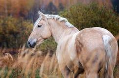 Γκρίζο άλογο portait στη δασική φύση φθινοπώρου, κοίταγμα στοκ εικόνες