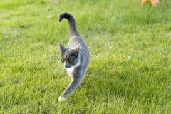 Γκρίζο & άσπρο γατάκι Στοκ φωτογραφία με δικαίωμα ελεύθερης χρήσης