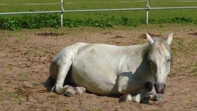 Γκρίζο άλογο που βρίσκεται στο έδαφος απόθεμα βίντεο