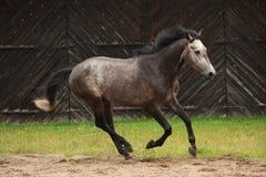 Γκρίζο άλογο που καλπάζει στον τομέα Στοκ εικόνες με δικαίωμα ελεύθερης χρήσης