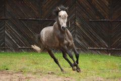 Γκρίζο άλογο που καλπάζει στον τομέα Στοκ Εικόνα