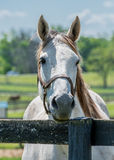 Γκρίζο άλογο στον παλαιό φράκτη Στοκ Εικόνες