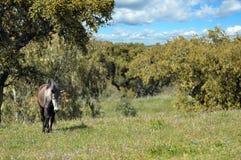 Γκρίζο άλογο στον τομέα Στοκ Φωτογραφίες