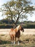 Γκρίζο άλογο Στοκ εικόνα με δικαίωμα ελεύθερης χρήσης
