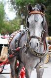 Γκρίζο άλογο Στοκ Εικόνες