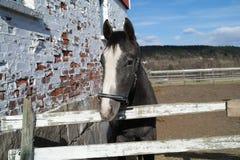 γκρίζο άλογο Στοκ φωτογραφίες με δικαίωμα ελεύθερης χρήσης