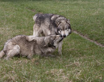 Γκρίζο άλφα αρσενικό λύκων Στοκ εικόνες με δικαίωμα ελεύθερης χρήσης