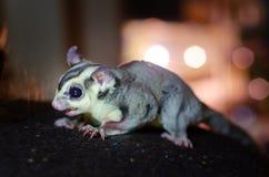 Γκρίζο ανεμοπλάνο ζάχαρης Possum ολίσθησης Petaurus breviceps δενδρικό Εξωτικά ζώα στο ανθρώπινο περιβάλλον στοκ φωτογραφίες