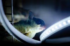 Γκρίζο ανεμοπλάνο ζάχαρης Possum ολίσθησης Petaurus breviceps δενδρικό Εξωτικά ζώα στο ανθρώπινο περιβάλλον στοκ εικόνες