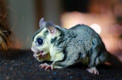 Γκρίζο ανεμοπλάνο ζάχαρης Possum ολίσθησης Petaurus breviceps δενδρικό Εξωτικά ζώα στο ανθρώπινο περιβάλλον στοκ φωτογραφία με δικαίωμα ελεύθερης χρήσης