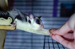 Γκρίζο ανεμοπλάνο ζάχαρης Possum ολίσθησης Petaurus breviceps δενδρικό Εξωτικά ζώα στο ανθρώπινο περιβάλλον στοκ εικόνες με δικαίωμα ελεύθερης χρήσης