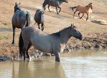 Γκρίζο ασημένιο άγριο άλογο φοράδων Grulla στην τρύπα νερού στην άγρια σειρά αλόγων βουνών Pryor στο U της Μοντάνα Στοκ Εικόνες