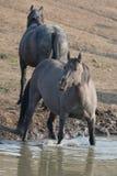 Γκρίζο ασημένιο άγριο άλογο φοράδων Grulla στην τρύπα νερού στην άγρια σειρά αλόγων βουνών Pryor στη Μοντάνα ΗΠΑ Στοκ Εικόνες