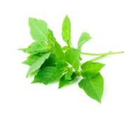 Γκρίζο βασιλικός ή basilicum στο άσπρο υπόβαθρο, συστατικό για το γουργούρισμα στοκ εικόνα με δικαίωμα ελεύθερης χρήσης
