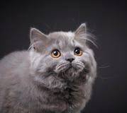 Γκρίζο βρετανικό μακρυμάλλες γατάκι Στοκ Εικόνες