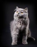 Γκρίζο βρετανικό μακρυμάλλες γατάκι Στοκ φωτογραφίες με δικαίωμα ελεύθερης χρήσης