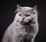 Γκρίζο βρετανικό μακρυμάλλες γατάκι Στοκ Φωτογραφίες