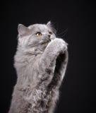 Γκρίζο βρετανικό μακρυμάλλες γατάκι Στοκ εικόνα με δικαίωμα ελεύθερης χρήσης