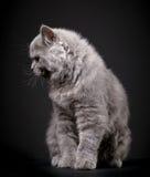 Γκρίζο βρετανικό μακρυμάλλες γατάκι Στοκ Φωτογραφία