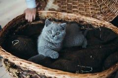 γκρίζο γατάκι καλαθιών λί&g Στοκ Εικόνες