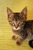 Γκρίζο γατάκι στην κίτρινη ανασκόπηση Στοκ Εικόνες