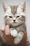 γκρίζο γατάκι συμπαθητι&kappa Στοκ Εικόνες