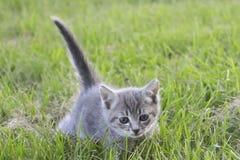 Γκρίζο γατάκι, σωλήνας ουρών σε ένα κλίμα της πράσινης χλόης στοκ εικόνες με δικαίωμα ελεύθερης χρήσης