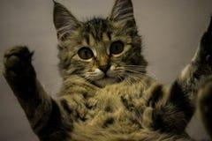 Γκρίζο γατάκι της Νίκαιας που ανατρέχει, πολύ χαριτωμένο στοκ φωτογραφία με δικαίωμα ελεύθερης χρήσης