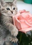 γκρίζο γατάκι Στοκ Φωτογραφίες