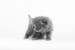 γκρίζο γατάκι στοκ φωτογραφία