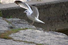 Γκρίζο γραπτό Seagull που προσγειώνεται κατά την πτήση Στοκ Εικόνες