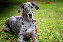 Γκρίζο επισημασμένο μεγάλο σκυλί Δανών στοκ εικόνα με δικαίωμα ελεύθερης χρήσης