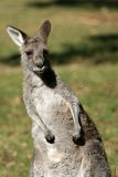 γκρίζο καγκουρό της Αυστραλίας Στοκ εικόνες με δικαίωμα ελεύθερης χρήσης