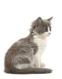 Γκρίζο και άσπρο γατάκι Στοκ εικόνα με δικαίωμα ελεύθερης χρήσης