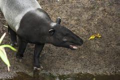 Γκρίζο και μαύρο χρώμα indicus Tapirus στοκ φωτογραφία με δικαίωμα ελεύθερης χρήσης