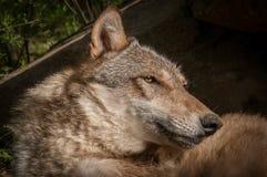 Γκρίζο κεφάλι Λύκου Canis λύκων Στοκ φωτογραφία με δικαίωμα ελεύθερης χρήσης