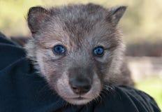 Γκρίζο κεφάλι κουταβιών λύκων (Λύκος Canis) στον ώμο Στοκ φωτογραφίες με δικαίωμα ελεύθερης χρήσης