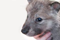 Γκρίζο κεφάλι κουταβιών λύκων (Λύκος Canis) Στοκ Εικόνα