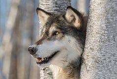 Γκρίζο κεφάλι Λύκου Canis λύκων που αφήνεται Στοκ Εικόνες