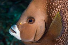 Γκρίζο κεφάλι angelfish Στοκ φωτογραφία με δικαίωμα ελεύθερης χρήσης