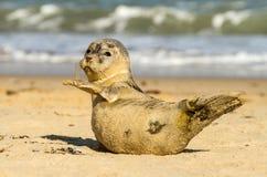 Γκρίζο κοινό cub κουταβιών σφραγίδων στην αμμώδη παραλία στοκ εικόνα