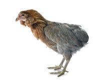 Γκρίζο κοτόπουλο araucana Στοκ Φωτογραφίες