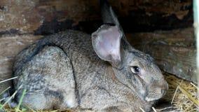 Γκρίζο κουνέλι μπροστά από τη σιταποθήκη κουνελιών απόθεμα βίντεο