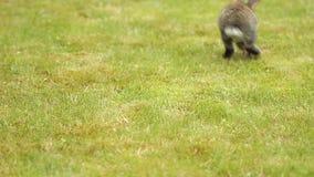 Γκρίζο κουνέλι στην πράσινη χλόη φιλμ μικρού μήκους