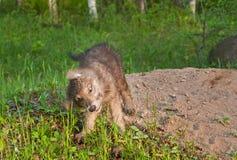 Γκρίζο κούνημα κουταβιών λύκων (Λύκος Canis) Στοκ Φωτογραφία